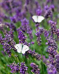 lavender-dreamstime