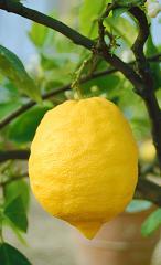 lemon-dreamstime
